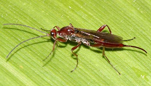 Proctotrupes caudatus