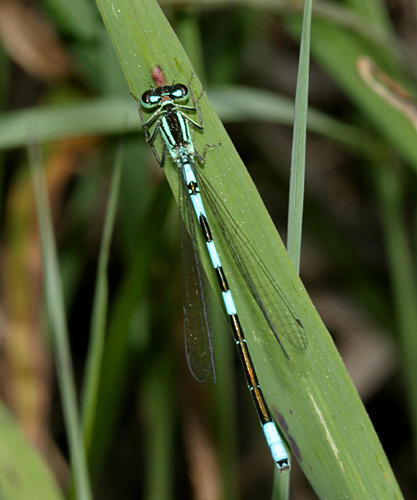 Taiga Bluet - Coenagrion resolutum