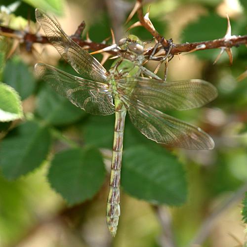 Pale Snaketail - Ophiogomphus severus