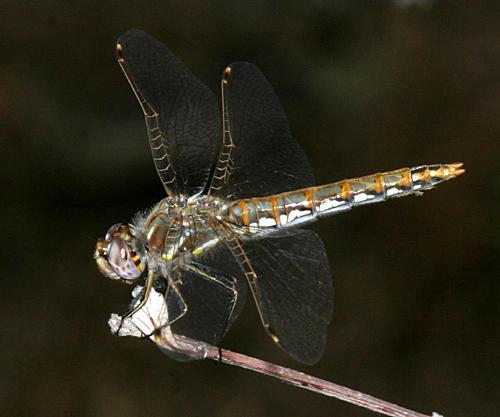 Variegated Meadowhawk - - Sympetrum corruptum (female)