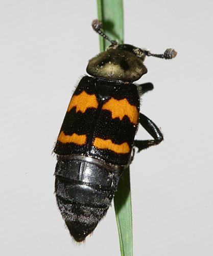 Sexton Beetle - Nicrophorus tormentosus
