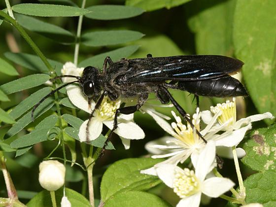 Sphex pennsylvanica - Great Black Wasp