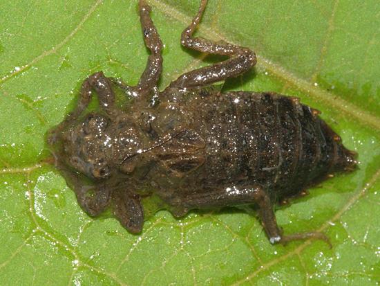 Gomphid Larva