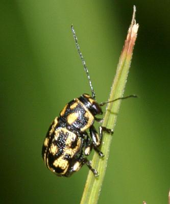 Pachybrachis m-nigrum