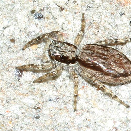 Gray Wall Jumper - Menemerus bivitattus (female)