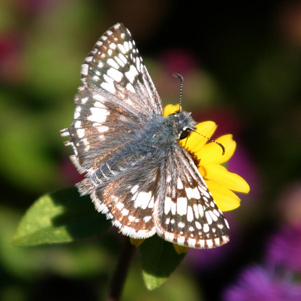 male Common Checkered-Skipper - Pyrgus communis