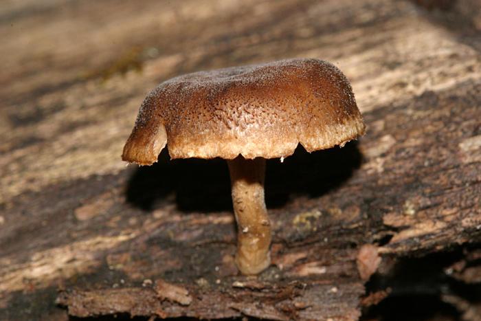 Polyporus brumalis (Winter Polypore)