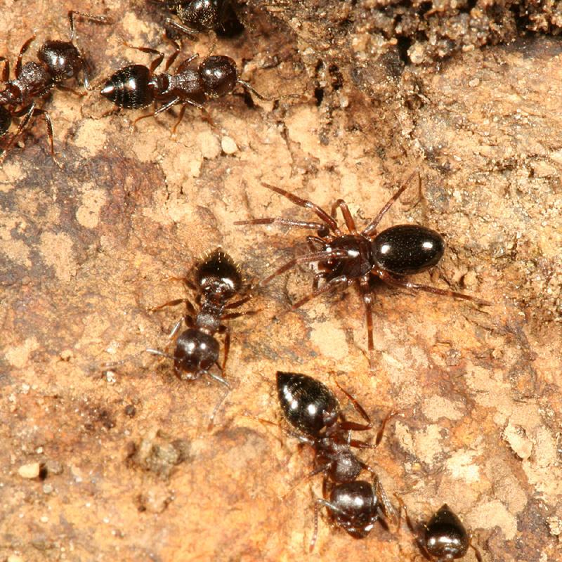 Phruronellus formica (with Acrobat Ants - Crematogaster sp.)