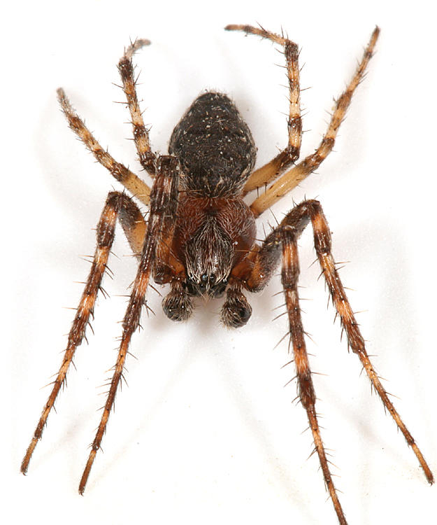 Gray cross spider - Larinioides sclopetarius (male)