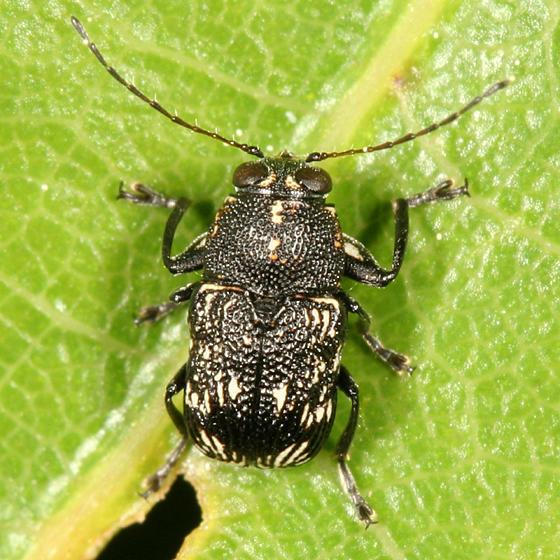 Pachybrachis femoratus