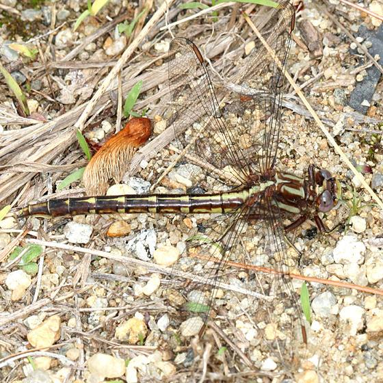 Lancet Clubtail - Gomphus exilis (female)