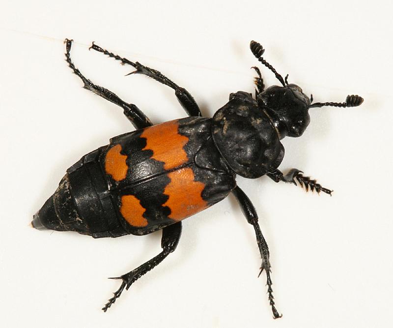 Sexton Beetle - Nicrophorus defodiens