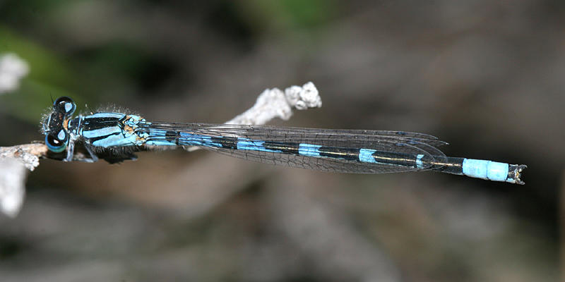 Alkali Bluet - Enallagma clausum (male)