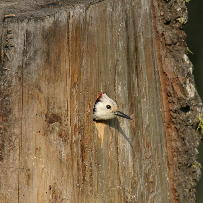 White-headed Woodpecker - Picoides albolarvatus (male)