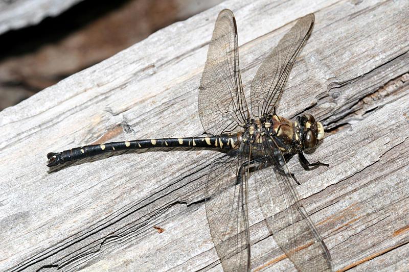 Black Petaltail - Tanypteryx hageni