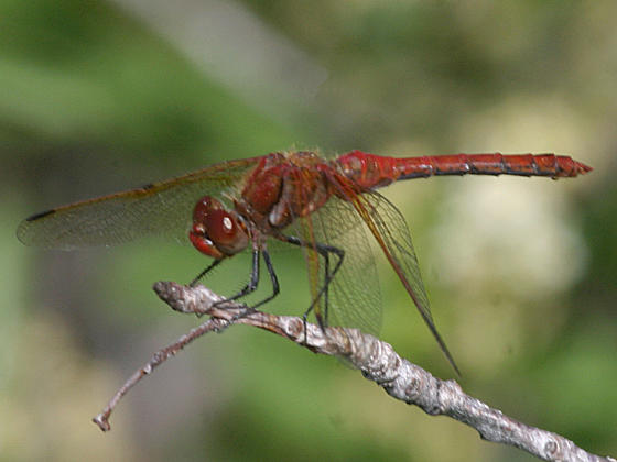 Red-Veined Meadowhawk - Sympetrum madidum
