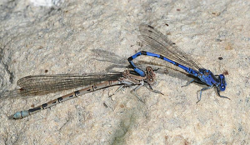 Vivid Dancers - Argia vivida (mating pair)