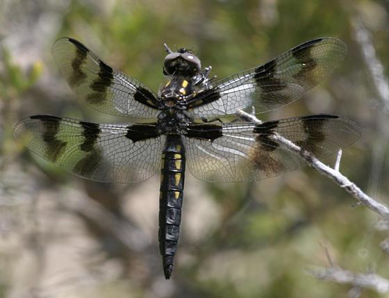 Desert Whitetail - Libellula subornata