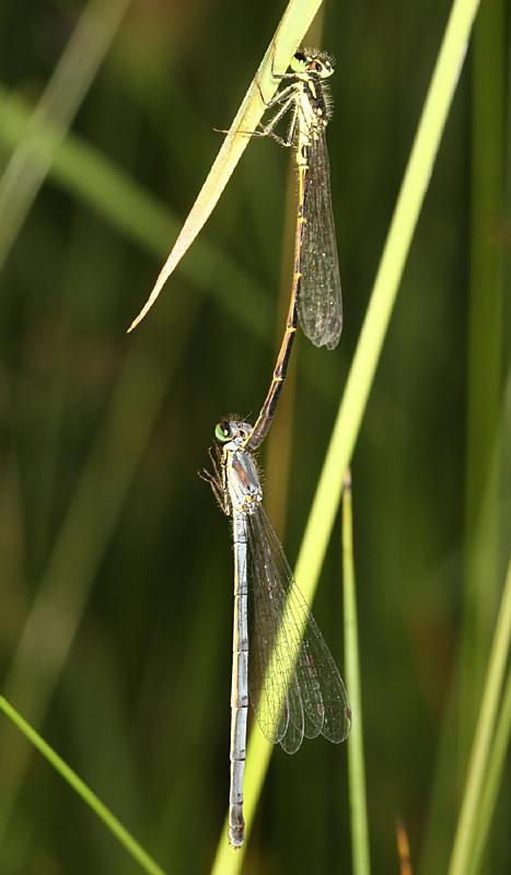 Fragile Forktails - Ishnura posita (mating pair)