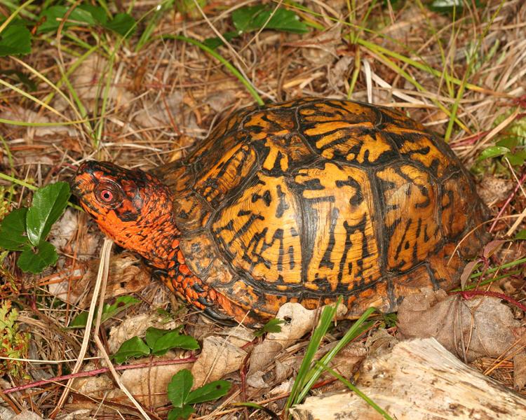 Eastern Box Turtle (5) - Terrapene carolina