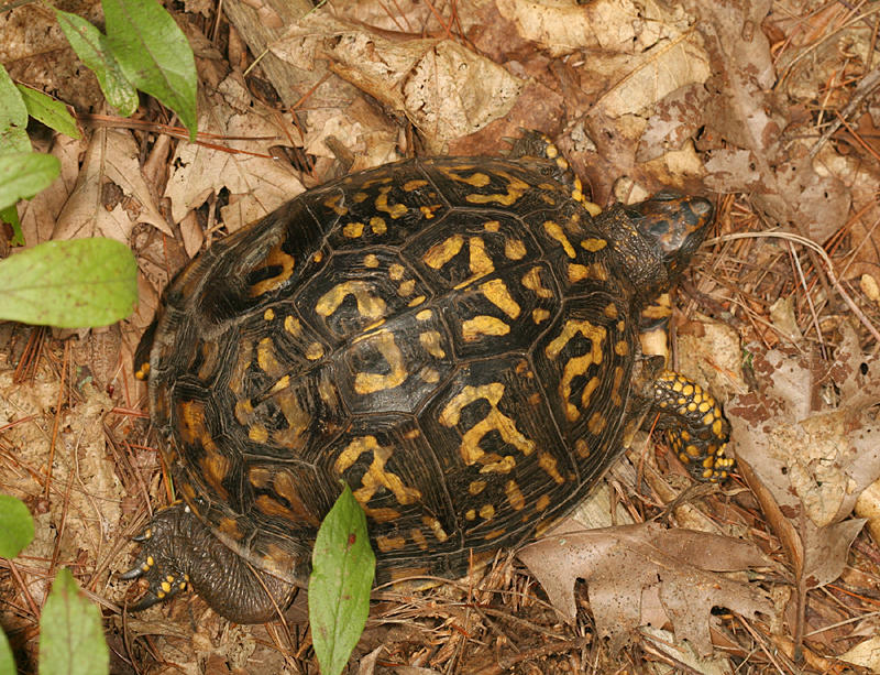 Eastern Box Turtle (4) - Terrapene carolina