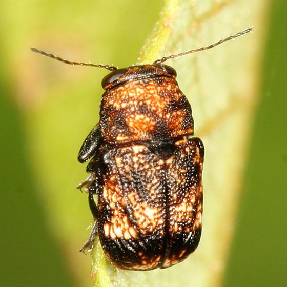 Pachybrachis spumarius