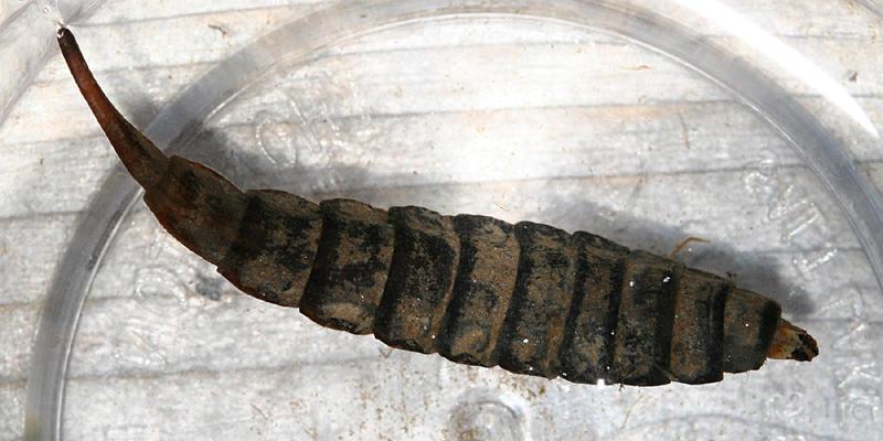 Stratiomys sp. larva