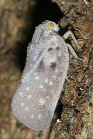 Metcalfa pruinosa - Citrus Flatid Planthopper