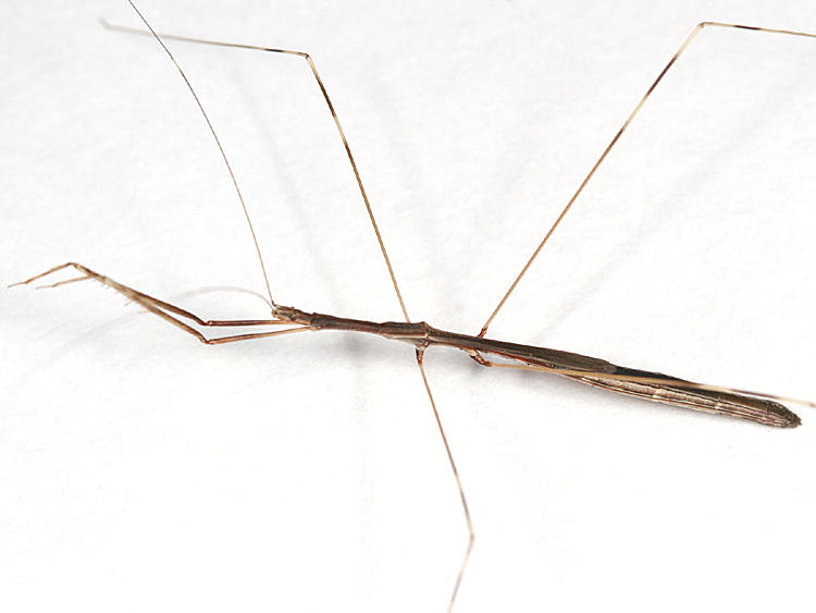 Thread-legged Bug - Emesaya brevipennis