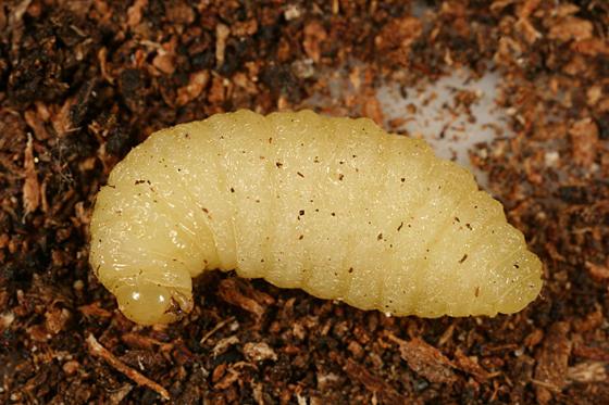 Wasp Larva