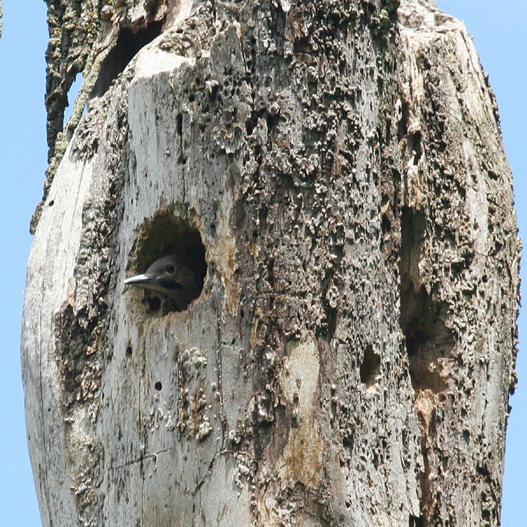 Northern Flicker - Colaptes auratus (chick peeking out the nest hole)