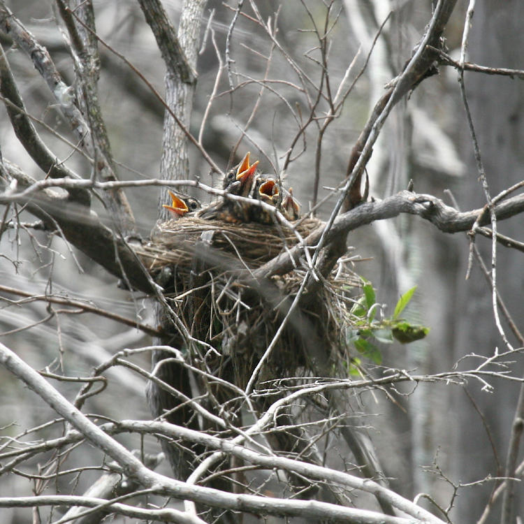 American Robins - Turdus migratorius (babies in the nest)