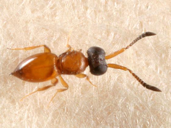 Ceraphronidae - Ceraphron sp. (1mm)