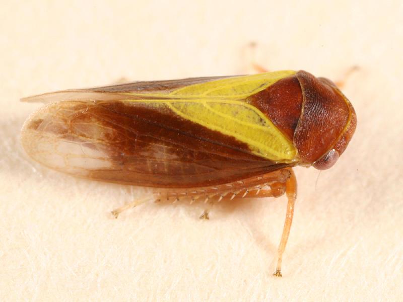 Oncopsis flavidorsum (female)