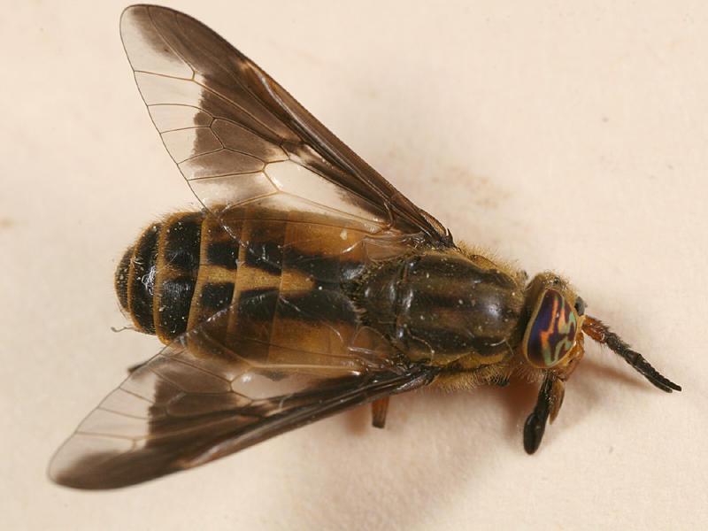 Chrysops indus