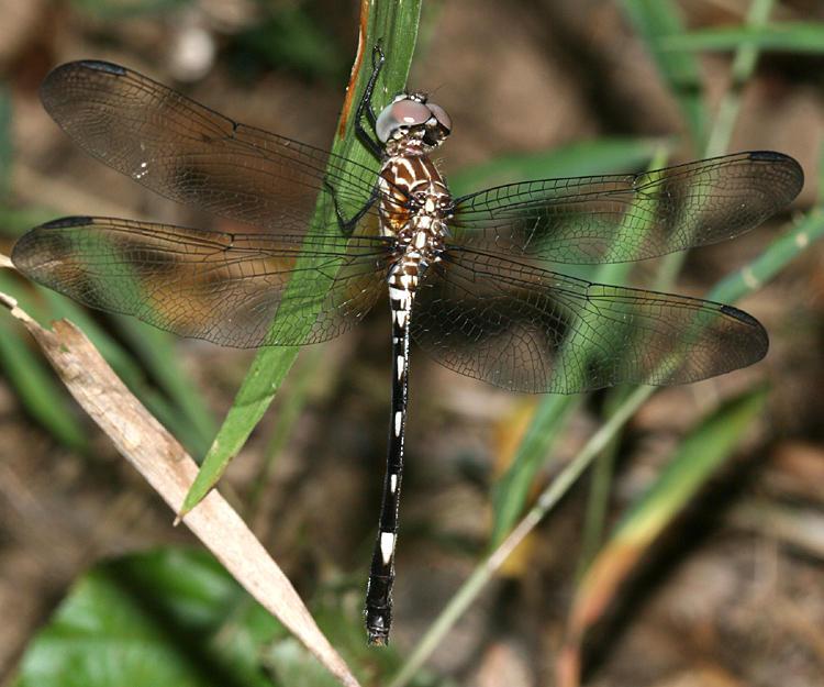 Swift Setwing - Dythemis velox