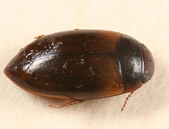 Laccornis conoideus