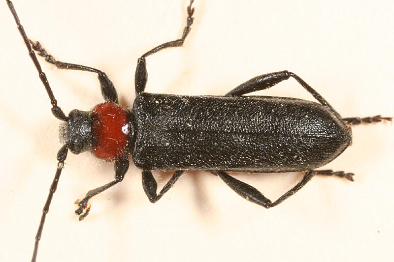 Pronocera collaris