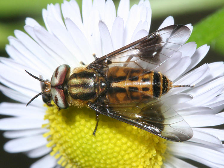 Chrysops lateralis (male)