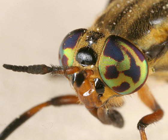 Chrysops lateralis (female)