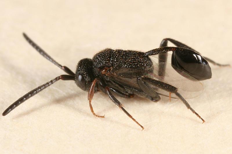 Ensign Wasp (Evaniidae) - Hyptia sp.