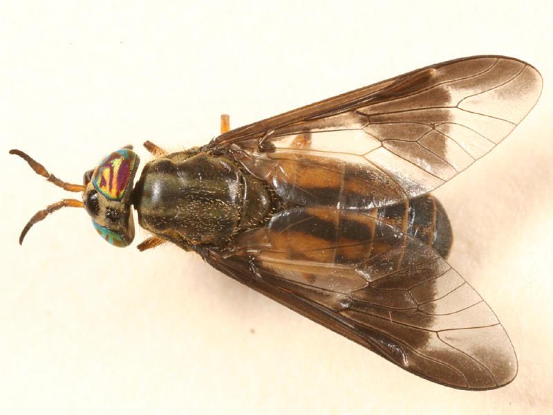 Chrysops striatus