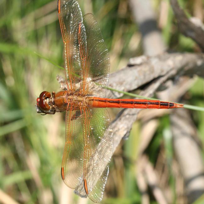 Needhams Skimmer - Libellula needhami