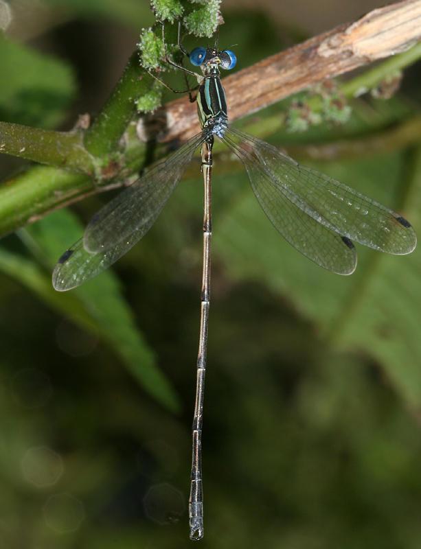 Slender Spreadwing - Lestes rectangularis
