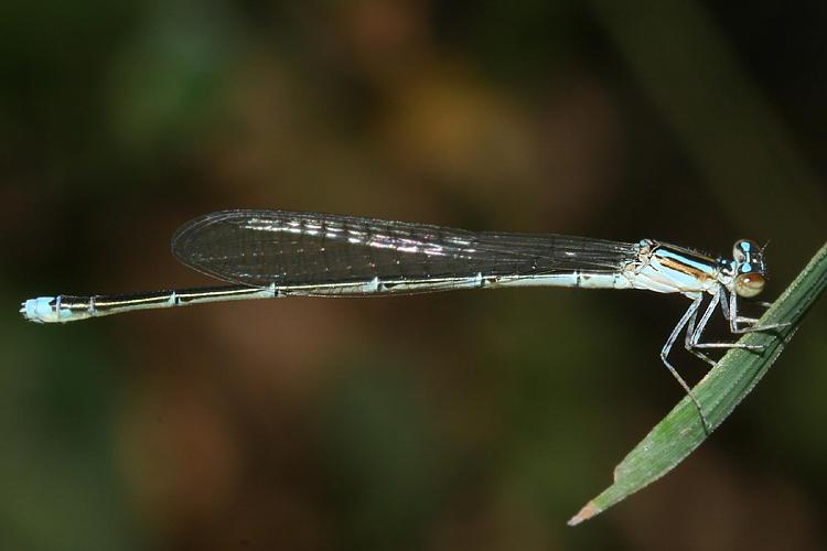 Turquoise Bluet - Enallagma divagans (female)