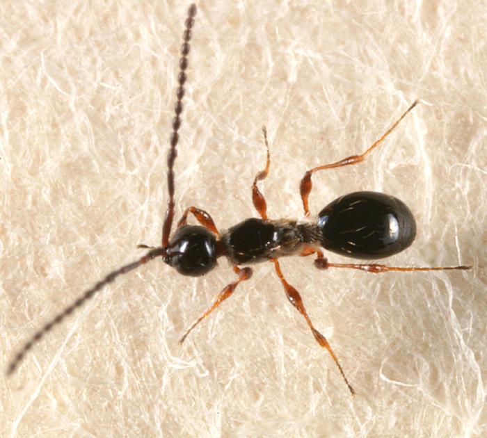 Trichopria sp.
