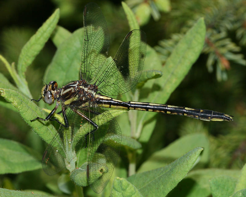 Harpoon Clubtail - Gomphus descriptus (female)