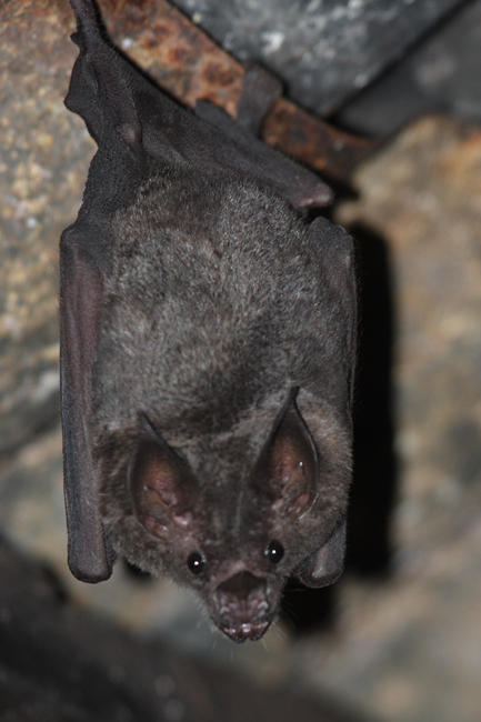 Sebas Short-tailed Fruit Bat - Carollia perspicillata