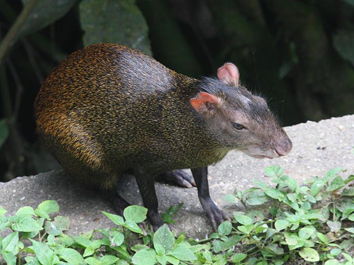 Red-rumped Agouti - Dasyprocta leporina