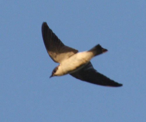White-winged Swallow - Tachycineta albiventer